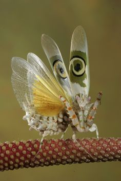 Meet the spectacular Spiny Flower Mantis