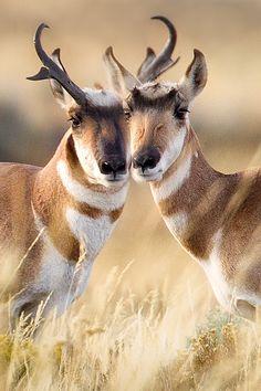 Pair of beautiful prong horn antelope.