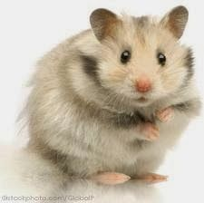 All about the Syrian hamster (a.a golden / teddy bear hamster), how to take care of them, plus lots of photos, tips and tricks. Syrian Hamster, Gerbil, Hamsters As Pets, Cute Hamsters, Rodents, Guinea Pigs, Cool Cats, Funny Cute, Rabbits