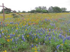 Texas Bluebonnets and Indian Blankets along hwy 290.  Beautiful!