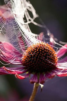 Lady farm, Somerset: Designer: Judy Pearce. Cobweb on echinacea purpurea in autumn - Clive Nichols