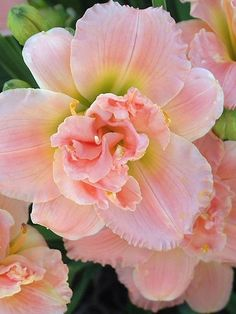 Hemerocallis (daylily) 'Siloam Double Classic' ~This is one of my favorite daylilies. The color is gorgeous and has a sweet fragrance. Peach Flowers, Pretty Flowers, Tropical Flowers, Hawaiian Flowers, Cactus Flower, Exotic Flowers, Yellow Roses, Pink Roses, Colorful Flowers