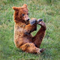 Stretch those tired limbs: A brown bear gets its morning off to a good start by hauling one of its hind legs up and giving it a stretch. The photos were taken by wildlife photographer Marina Cano at the Cabarceno National Park in Cantabria, Spain. Animals And Pets, Baby Animals, Funny Animals, Cute Animals, Wild Animals, Amazing Animals, Animals Beautiful, Wildlife Photography, Animal Photography