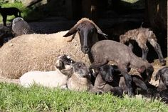 Arquivo - 35 filhotes de ovelhas são os novos moradores do Barigui - Álbum - Prefeitura de Curitiba. 35 filhotes de ovelhas são os novos moradores do Barigui. Animais da raça Suffolk começaram a nascer nas últimas três semanas. Reprodução foi programada pela Prefeitura para facilitar manejo. Curitiba, 04/08/2009 Foto: Luiz Costa/SMCS