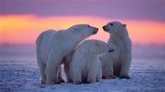 Ours polaire Apprendre sur la Russie Radio-Canada