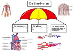 Miniatuurafbeelding voor de versie van 14 jun 2012 om 09:43 Dutch Language, School, Fitness, Image, Om, Learning, Biology, Schools, Excercise