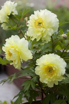If you're in the area, come and take a peek! Our gardens are open to the public. Our gorgeous 'Bartzella' Itoh Peony is currently blooming in the Test Garden. Like many gardeners in mild-winter cli...