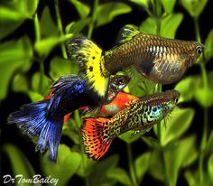 Mixed Male Guppies & a Pregnant Female Guppy, Featured item. #mixed #male…