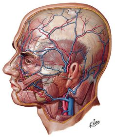 "A watercolor plate from ""Atlas of Human Anatomy"" shows arteries and veins of the face and scalp."
