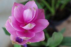 Curcuma fresh cut flowers