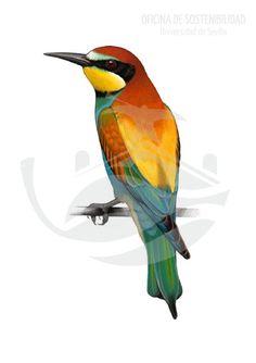 ABEJARUCO. Ave de unos 28 cm de longitud y 52 g de masa. El abejaruco es una de las aves con mayor colorido de cuantas puedan observarse sobrevolando los jardines del los campus de la Universidad.