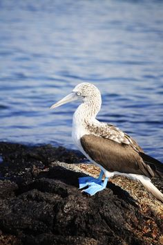 Being the largest of the Galapagos Islands, Isla Isabela is one of the most intriguing tropical islands in the world. Things To Do, Good Things, Island Tour, Galapagos Islands, Tour Tickets, Luxury Travel, Ecuador, Macarons, Tropical