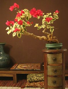 Bonsai de trinitaria - I like the form on this var'd Bougainvillea.