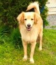Americo is 2 years old and weighs 40 pounds.Americo is a handsome boy who is looking for an experienced dog owner.  He is good with friendly and playful female dogs, but is not a fan of dominant male dogs.  He takes a few minutes to warm up to new...