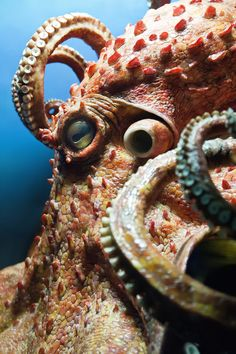 Giant Pacific Octopus Explore the depths of the ocean while keeping your feet dry! Schedule Your Octopus Encounter Explore the depths of the ocean . Underwater Creatures, Underwater Life, Ocean Creatures, Octopus Squid, Octopus Art, Octopus Video, Octopus Pictures, Octopus Eyes, Red Octopus