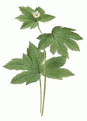 goldenseal plant - Google Search