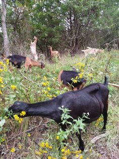 Goat milk soap made right here on the Lamancha only goat dairy using the fresh goat milk that our goats produce. Goat Milk Soap, Soap Making, Yellow Flowers, Goats, Animals, Food, Animales, Meal, Animaux