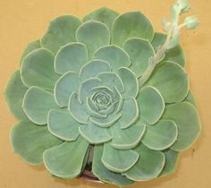 Echeveria glauca • Hens and Chicks. Blue Echeveria • Succulents/Cactus • hardy to 10 degrees, full sun to light shade, pale yellow flowers bloom mid summer through late fall, drought tolerant