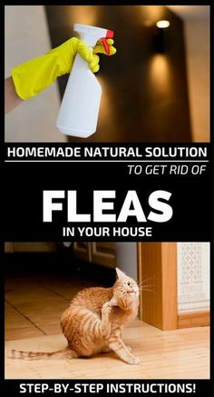 These winged and scary insects called fleas can give you the most unpleasant sleepless nights. Flea Spray For House, Flea In House, Dog Flea Remedies, Home Remedies For Fleas, Flea Remedy For Dogs, Natural Flea Remedies, Natural Cures, Herbal Remedies, Kill Fleas In House