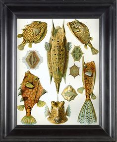 PUFF FISH Print Ernst Haeckel 8X10 Art Print 2 by FleurDeNature
