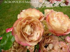 La roseraie de l'Haÿ-les-Roses, les roses roses - Nos jardins et ...