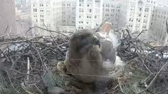 Hawk protects nest of eggs at Queen's Park in Toronto: http://www.ctvnews.ca/video?clipId=584559&playlistId=1.2310791&binId=1.810401&playlistPageNum=1&binPageNum=1