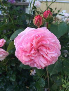 Rose Maria Theresia