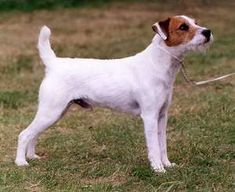 Parson Jack Russell Terrier.