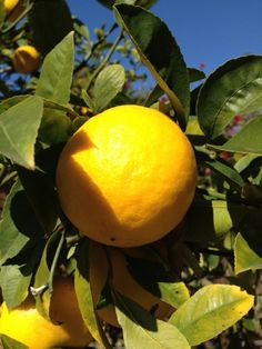 meyer-lemon - I would love to have a lemon tree - it'd have to be moved indoors for the winter but wouldn't that be lovely
