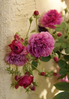Sweet Chariot - Polyantha/Miniature Rose -  Small purple pom-pom flowers and one of the most fragrant of the mini roses  www.organicgarden...