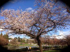 #Hanami #sakura #ciliegio #Roma #Eur
