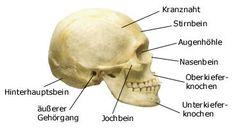 Schädelknochen seitlich