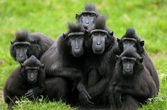 A group of crested macaques, more used to tropical rainforests in Indonesia, huddle for warmth in Dublin zoo. The primates are endangered in their own land due to hunting and the clearing of their native habitat, sometimes even taken when very young as pets by the local population Photograph: Niall Carson/PA