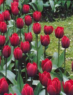 #Tulipe triomphe 'Couleur Cardinal'