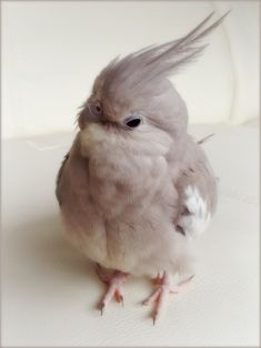 cinnamon whiteface cockatiel https://www.facebook.com/Cockatielz https://twitter.com/Cockatiel5