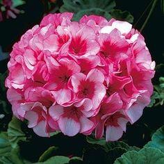 10 seeds rare Pink white Geranium Appleblossom Rosebud Zonal flowers plants