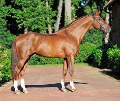 KWPN sport horse stallion, Vitalis.