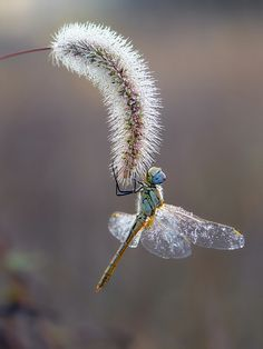 Autumn dragonfly by dralik.deviantart.com on @deviantART