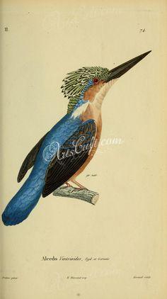 Madagascar Kingfisher   ...