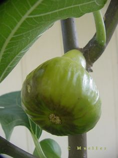 Figs and Citrus for Lousiana and Texas by TAMU horticulture Figs Benefits, Tree Information, Lemon Blossoms, Texas Gardening, Citrus Trees, Fig Tree, Growing Herbs, Herb Garden, Horticulture