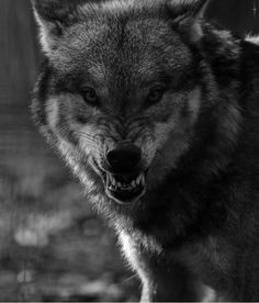 Snarling wolf,facing observer