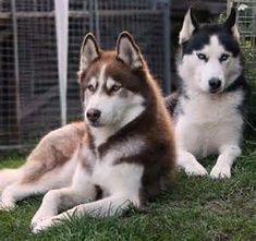 @beyjess12 // Gorgeous black and red huskies #SiberianHusky