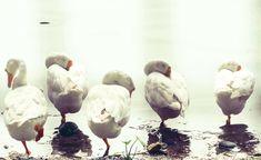 #geese #sleeping birds #swan #swans enjoying sleep standing on one legs #wildlife photography