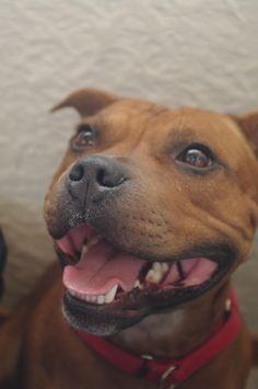 #Staffordshire #Terrier