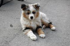 miniature australian shepherd puppy why aren't you mine?