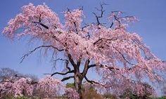 Výsledok vyhľadávania obrázkov pre dopyt cherry tree