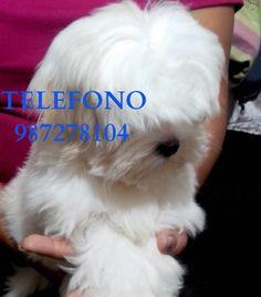 venta de maltes lima peru raza pequeña cachorro perrito