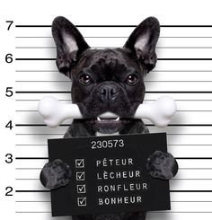 """Whoopee!"",,, ""Bootlicker!"",,, ""Buzzer!""... ""Happiness!"" , ha! French Bulldog Blotter photo."