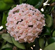 Las hoyas son plantas suculentas de la familia de las asclepiadaceas, tropicales del este de Asia y Australia. se llama flor de cera y desprende un maravilloso olor en las noches. las hay blancas y rosadas como esta.