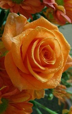 Enjoy Life With Your Own Flower Garden - Beautiful, Easy! Beautiful Flowers Wallpapers, Beautiful Rose Flowers, Love Rose, All Flowers, Orange Flowers, Amazing Flowers, Beautiful Beautiful, Orange Rosen, Ronsard Rose